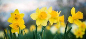 daffodil day Ormiston
