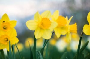 daffodil day Ormiston